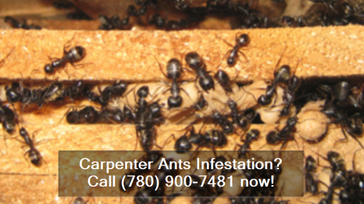 Carpenter Ants Infestations In Stony Plain Alberta
