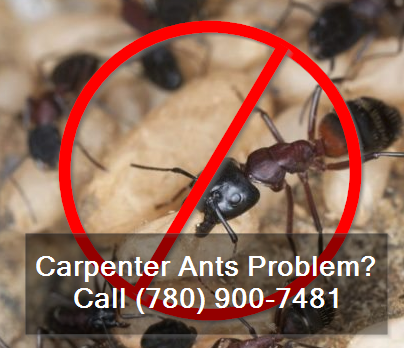 carpenter ants problem - call (780) 900-7481